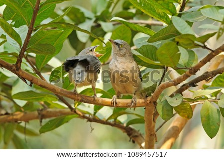 Large grey babbler with chick crying for food. #1089457517