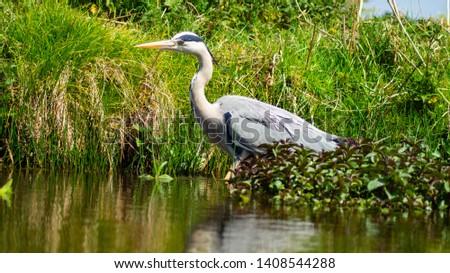 Large Grey Heron, Ardeidae, Single Bird Close Up, eyeline low angle view, hunting for food, fishing, on riverbank #1408544288