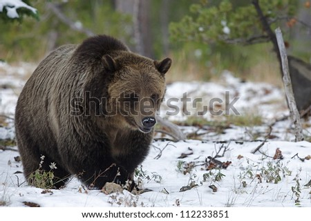 Large Grizzly Bear in snow, just prior to hibernating; Mount Washburn, Yellowstone National Park, Wyoming / Montana