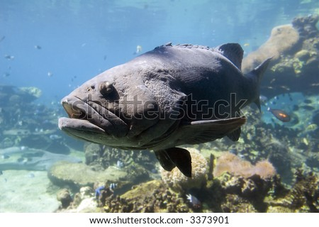 Large Groper (Epinephelus lanceolatus) with ugly growth covering the eye.