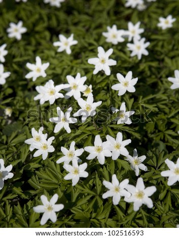 Large group of Anemone Flowers Full Frame
