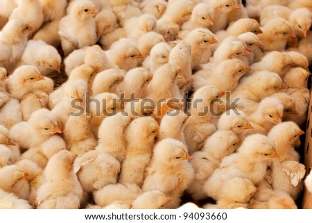 Large Group of Baby Chicks on the farm