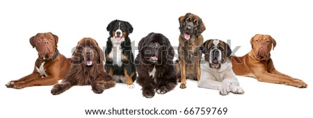 Large group of big dogs in a row, isolated on a white background