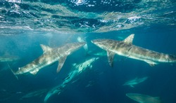 Large group of bronze whaler sharks and some common dolphins feeding on a sardine bait ball during the sardine run, East coast South Africa.