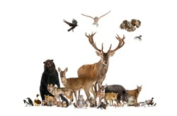 Large group of european animals, red deer, red fox, bird, rodent, wild boar, isolated