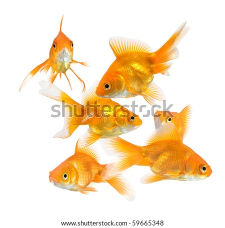 large group of goldfish isolated on white background