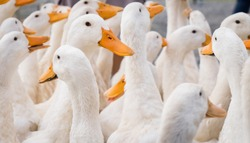 large group of healthy white ducks in a farm for domestic agriculture concept.