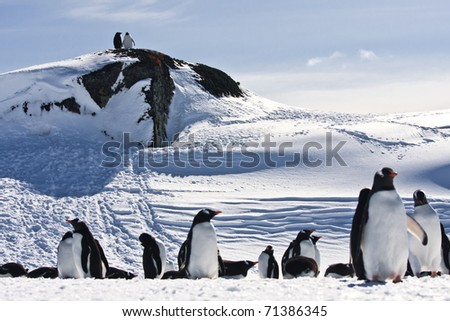 large group of penguins having fun in the snowy hills of the Antarctic