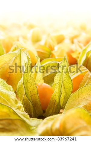 Large group of physalis also known as winter cherries, cape gooseberries, ground cherries, love in cage or chinese lantern