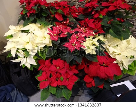 large group of poinsettias plants or flowers in red and white with green leaves