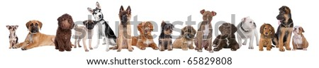 Large group of puppies isolated on a white background