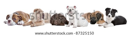 large group of puppies on a white background.from left to right,Bulldog,shar-pei,chocolate Labrador,English Bulldog,great dane,border,collie