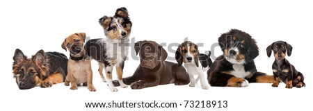 large group of puppies on a white background.from left to right,German Shepherd, mixed breed pug, shetland sheepdog,chocolate Labrador,Beagle,Bernese Mountain dog and a miniature Dachshund #73218913