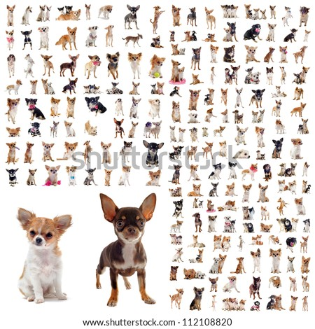 large group of purebred  chihuahuas in front of white background