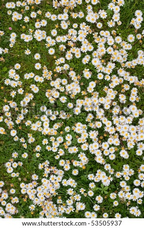 Large group of spring daisy flowers close up.