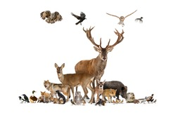 Large group of various european animals, red deer, red fox, bird, rodent, isolated