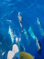 Large group of wild and free striped dolphins swimming just under a person's feet and sailboat, in the coast of Mallorca, a balearic island, Spain.  Sunny day and clear water, whalewatching tour.