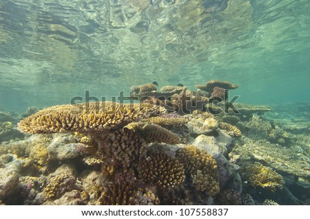 Large hard corals on a tropical coral reef just below the water surface with reflection