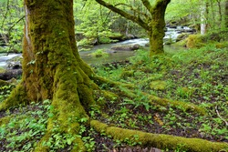 Large hardwood trees,ferns and plant life thrive alongside a stream in the Smokey Mountain N.P. in Tennessee.
