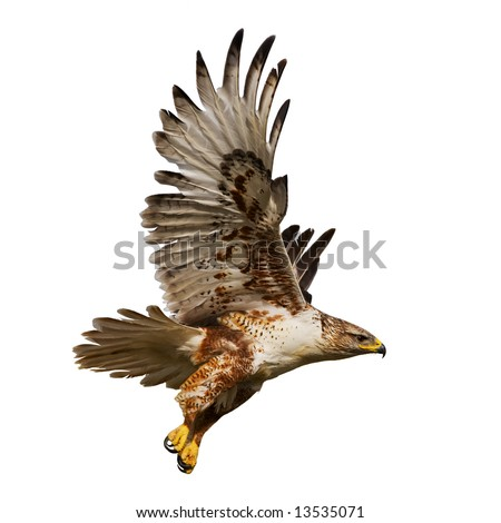 Large Hawk in flight isolated on a white background - stock photo
