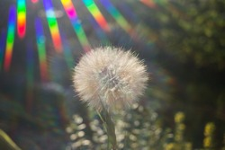 large head of an air dandelion in the backlight. The rainbow rays of the sun are directed towards him. positive joyful atmosphere, lightness and airiness. minimalism. Hello summer
