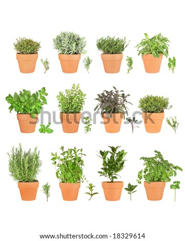 Large herb plant selection growing in terracotta pots with leaf sprigs. Over white background. #18329614