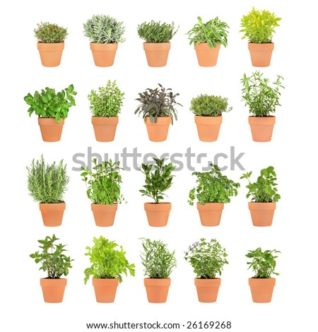 Large herb selection growing in twenty terracotta pots over white background.