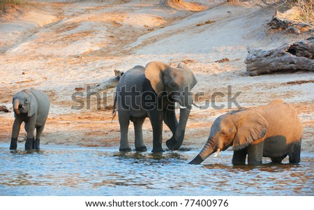 Large herd of African elephants (Loxodonta Africana) drinking from the river in Botswana