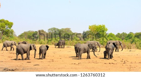Large Herd of African Elephants walking towards the bush with a very pale blue hazey sky  in Hwange National Park, Zimbabwe, Southern Africa
