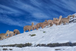 Large herd of cute domestic alpacas on snow in high altitudes in peruvian Andes, south America