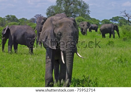 Large herd of elephants in a green field in Tarangire National Park, Tanzania.