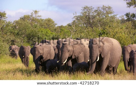 Large herd of elephants walking in savanna in the nature reserve in South Africa