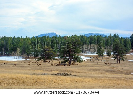 Large Herd of Elk Grazing and Resting in a Field with Trees and Snow
