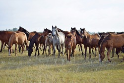 Large herd of horses in Kazakhstan