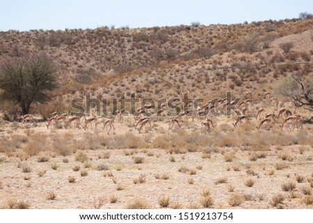 large herd of springbok, Antidorcas marsupialis, walking and grazing on the dry grasslands of the desert #1519213754
