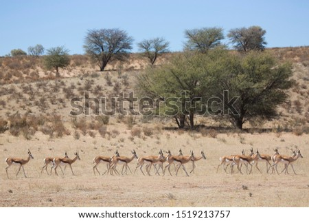 large herd of springbok, Antidorcas marsupialis, walking and grazing on the dry grasslands of the desert #1519213757