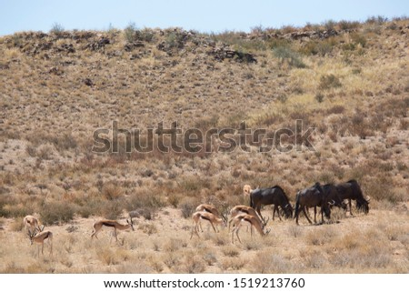 large herd of springbok, Antidorcas marsupialis, walking and grazing on the dry grasslands of the desert #1519213760