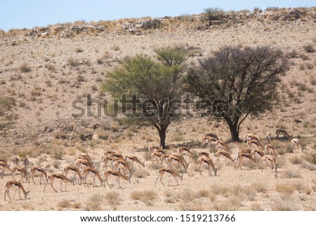 large herd of springbok, Antidorcas marsupialis, walking and grazing on the dry grasslands of the desert #1519213766
