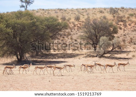 large herd of springbok, Antidorcas marsupialis, walking and grazing on the dry grasslands of the desert #1519213769