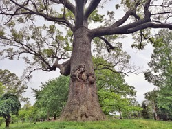 Large high tall old oak tree with brown huge large massive trunk body and wide branches  in summer park outside outdoors.