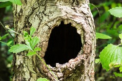 Large hollow tree on a background of green foliage. Serves nest for birds and shelter for animals. Selective focus, shallow depth of field