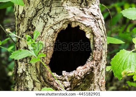 Large hollow tree on a background of green foliage. Serves nest for birds and shelter for animals. Selective focus, shallow depth of field Foto stock ©