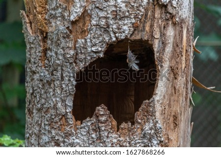 Large hollow tree on a background . Serves nest for birds. A hollow in a tree Foto stock ©