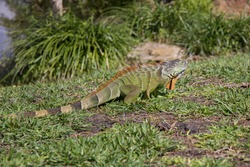 Large iguana lizard walks on green grass in a natural habitat. Wild animals concept