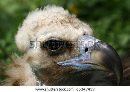 Large image Griffin Vulture (Gyps fulvus), zoo, Moscow, Russia