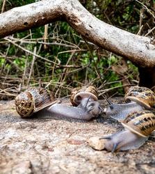 large israeli snails eating cat food on the street