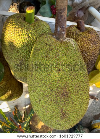 Large Jackfruit (Artocarpus heterophyllus) for sale outside on the street market, also called Yaka Stok fotoğraf ©
