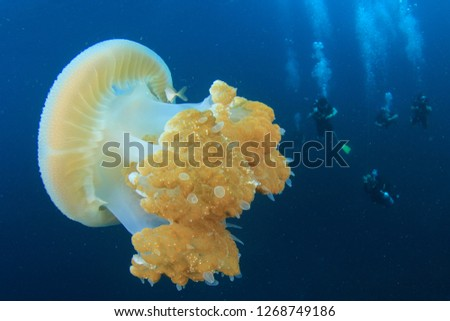 Large Jellyfish and scuba divers  #1268749186