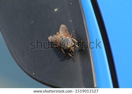large large-eyed horsefly sitting on the deflector of the car