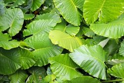 Large leaves of rainforest plants,